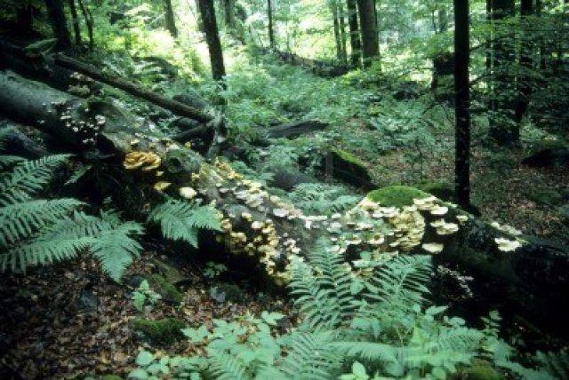 7381019-primeval-forest-in-bavaria